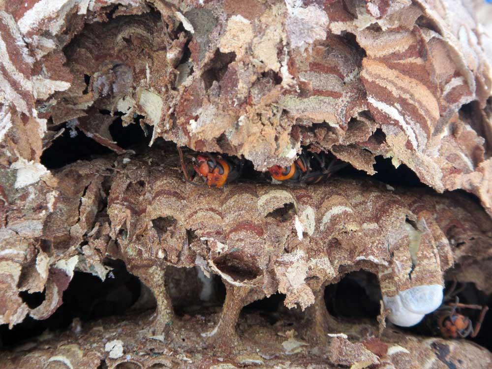 スズメバチの巣の内部