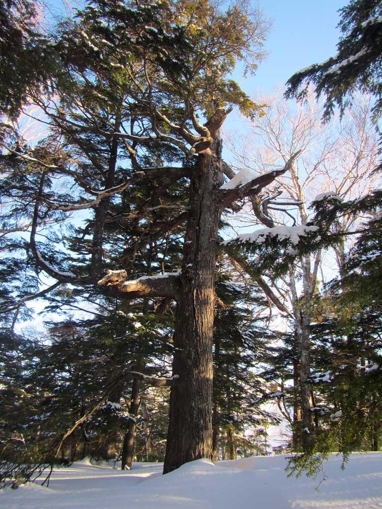 浜土井の直径1mはあるコメツガの巨木