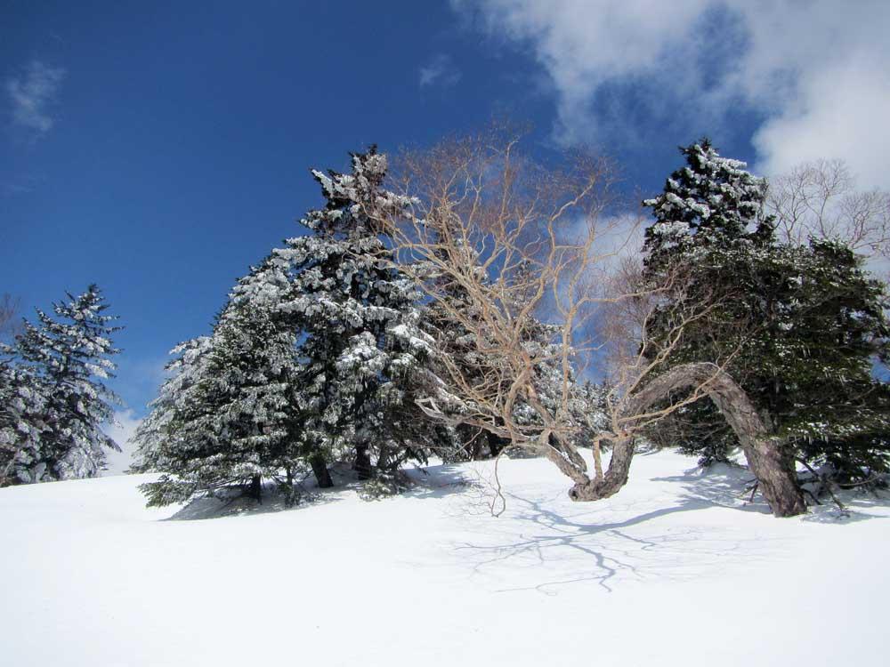 岳樺とトウヒ