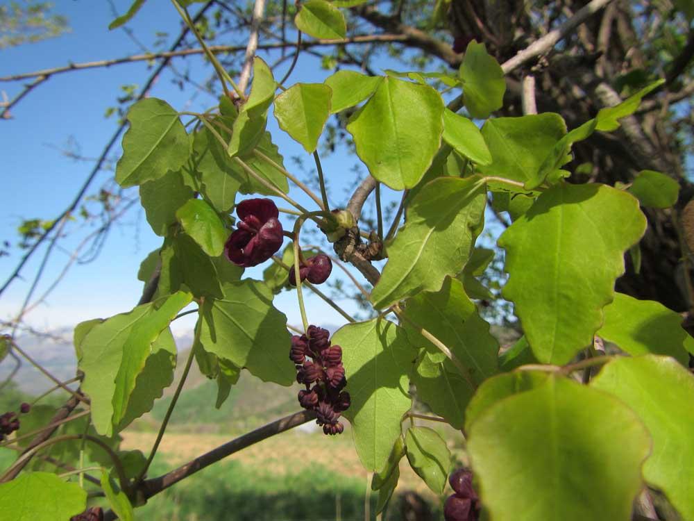 アケビの若葉と花芽