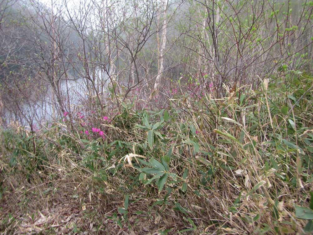 平兵衛池のムラサキヤシオ(たぶん)