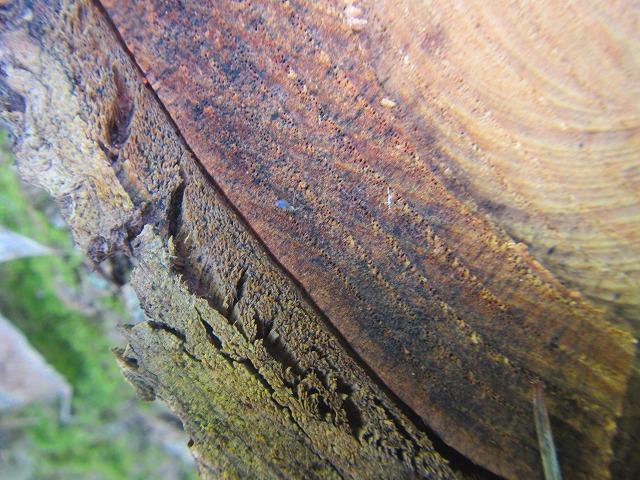 樹皮と年輪