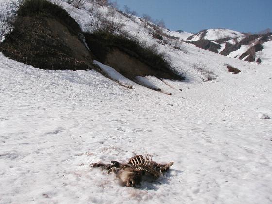 雪崩でカモシカが・・・