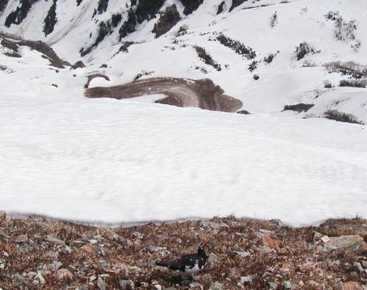雪倉岳の雷鳥