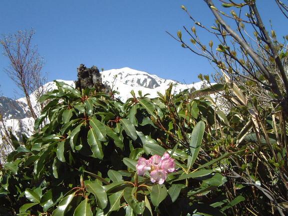 シャクナゲと越後駒ケ岳